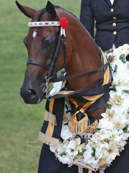 In Stock Cob Browbands
