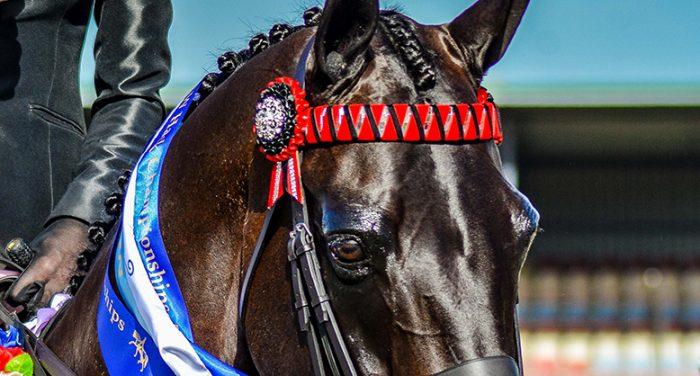 Champions Choice Browbands Diamante Browbands Ribbon